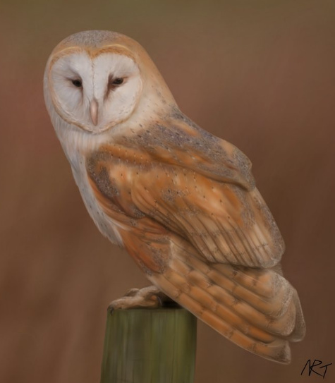 Digital painting of a barn owl